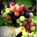 UVAS EN CONVERSION 0.5 KG